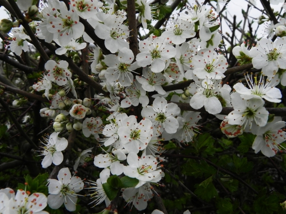 May Blossom - in good time.