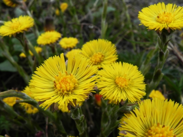 Coltsfoot - Highly Poisonous