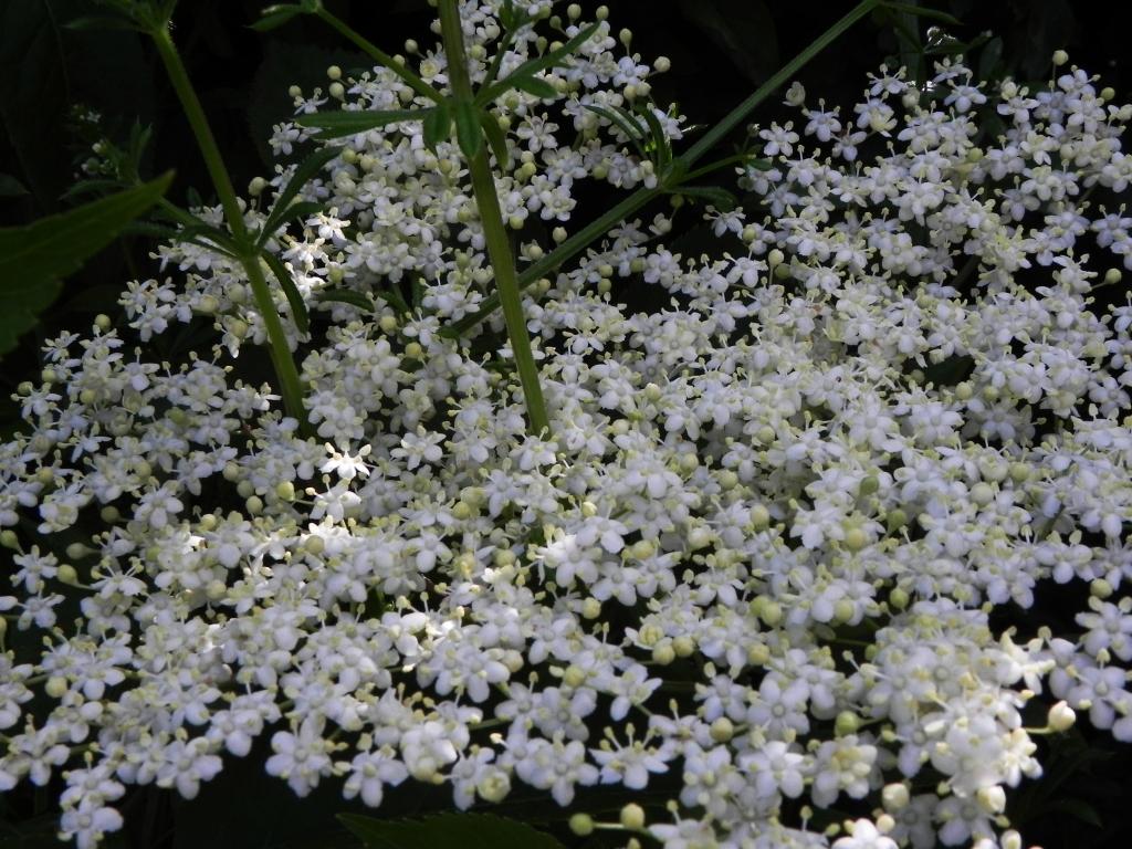 Elder Flowers