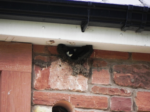 House Martins at Work