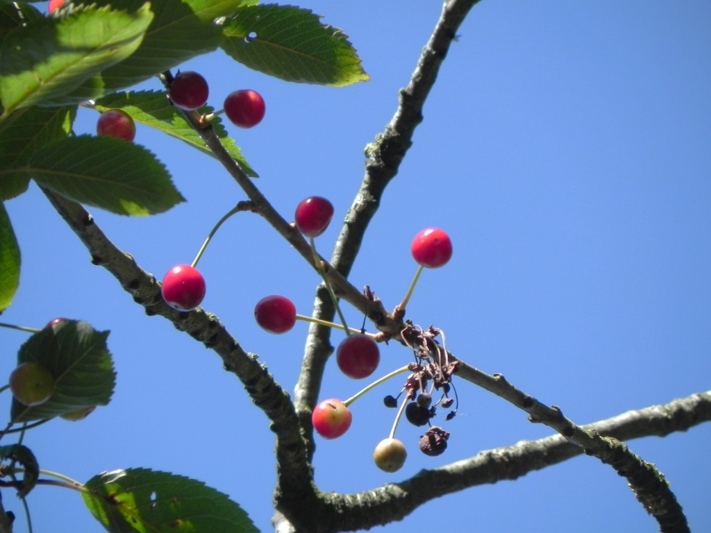 Cherries ripening in the sun