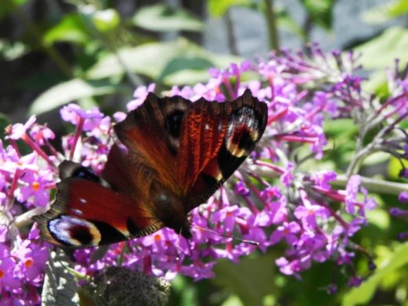 Peacock Butterfly - seen better days
