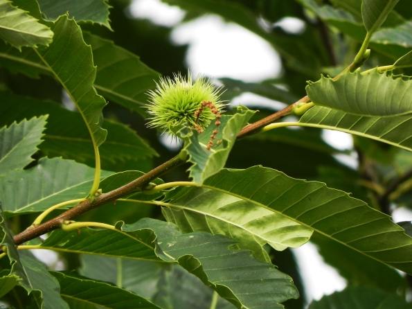 Sweet Chestnut Flower and Nut