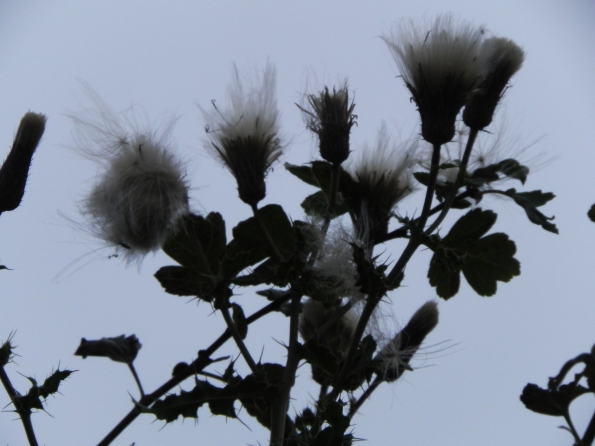 A Very Tall Thistle