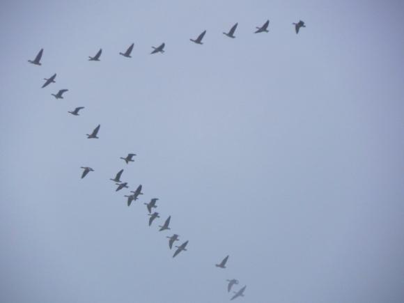 Skein Of Geese Heading East