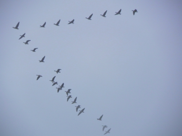Skein Of Geese Heading East