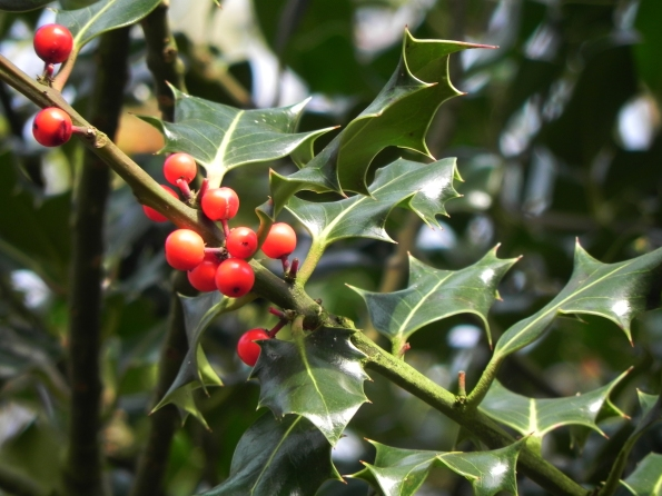 Holly With Berries for Christmas