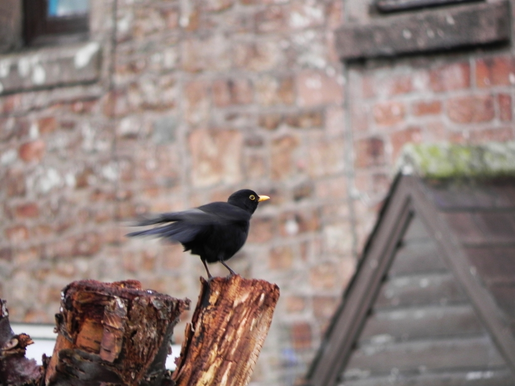 Blackbird - Practising for Spring