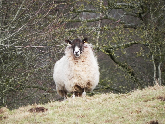 Sheep - What? My year? How nice!