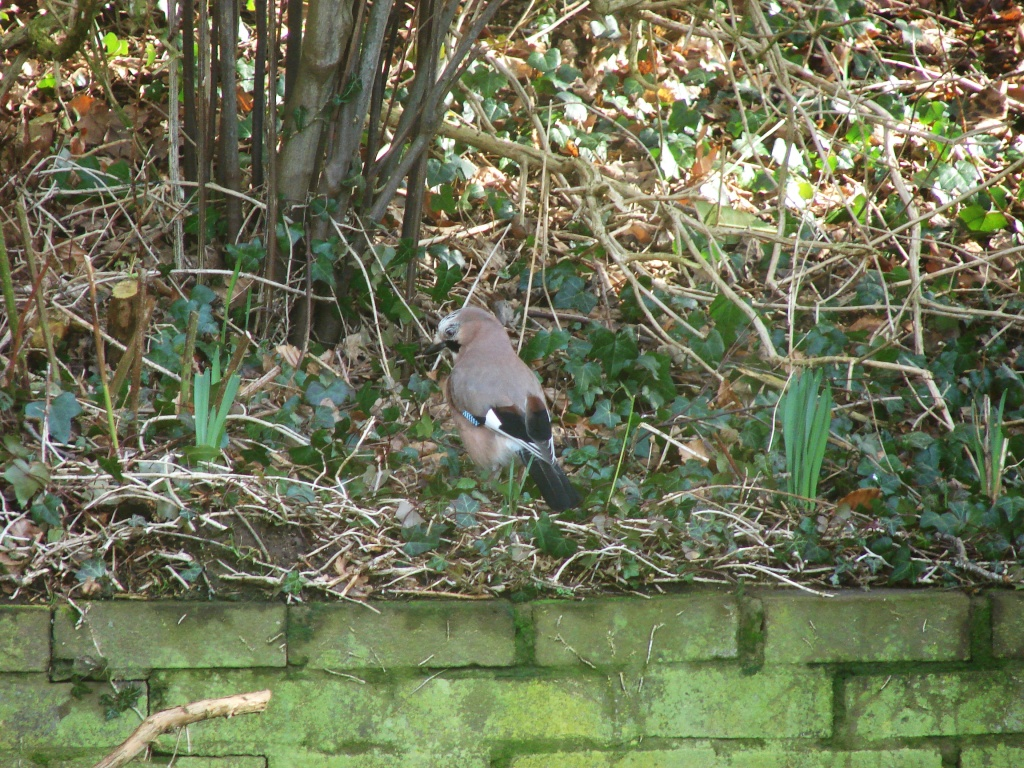 Jay by the bird table