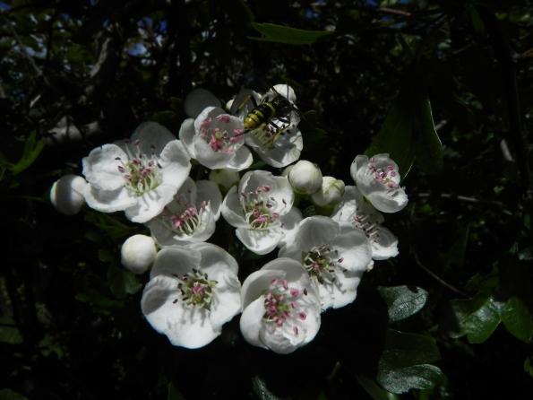 May Blossom In May