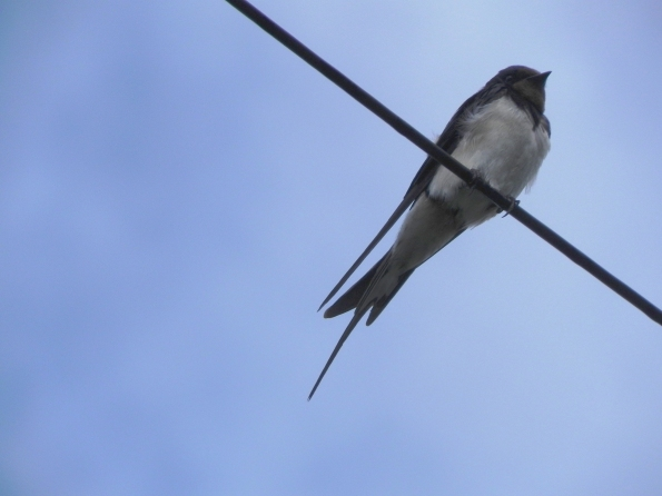 Swallow - Not Making Summer