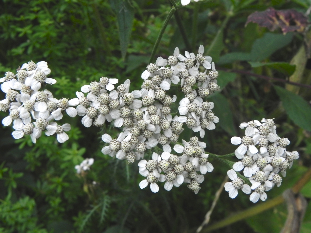 Yarrow - or Milfoil