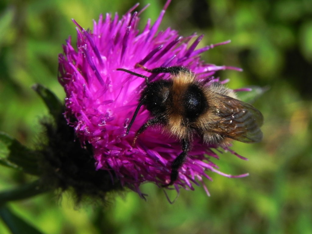 Knapweed And Bee