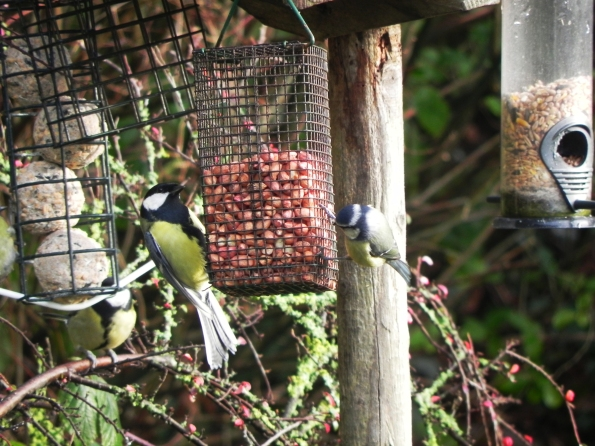 Great Tit and Blue Tit on the bird feeder