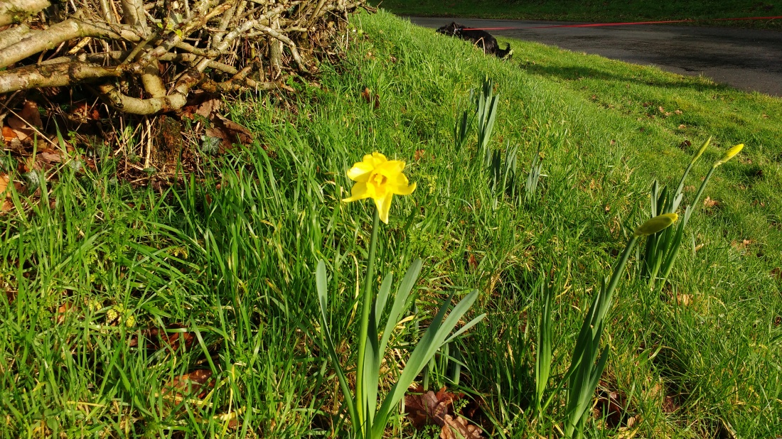 First Daffodil Of The Year