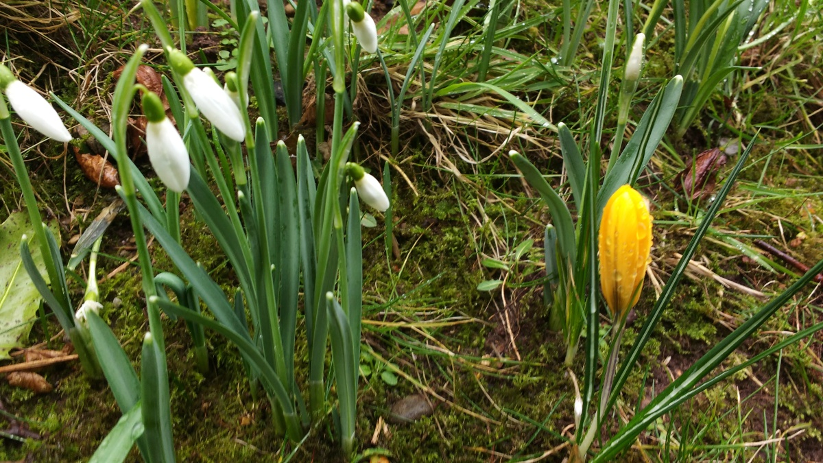 Our First Crocus