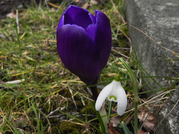 Crocus and a snowdrop