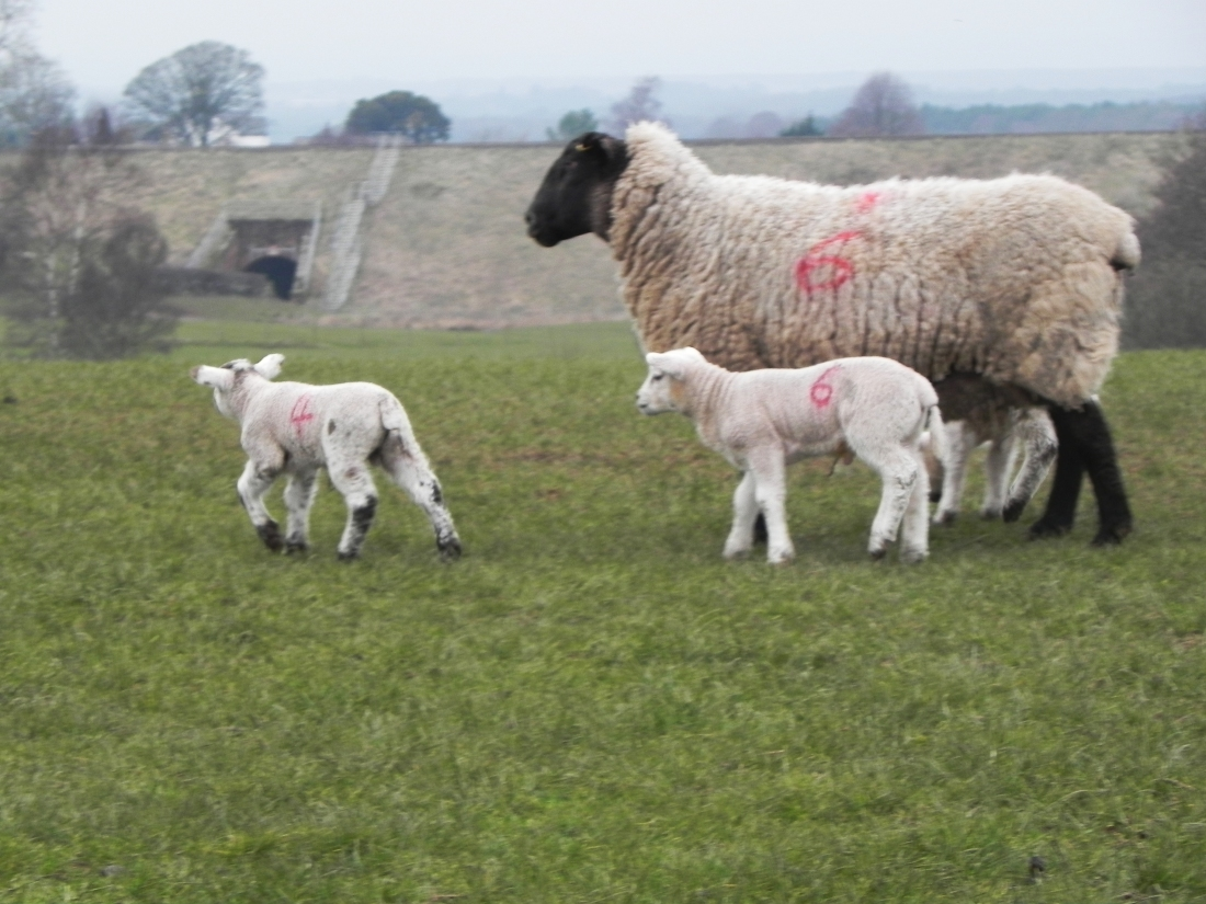 This Year's Lambs