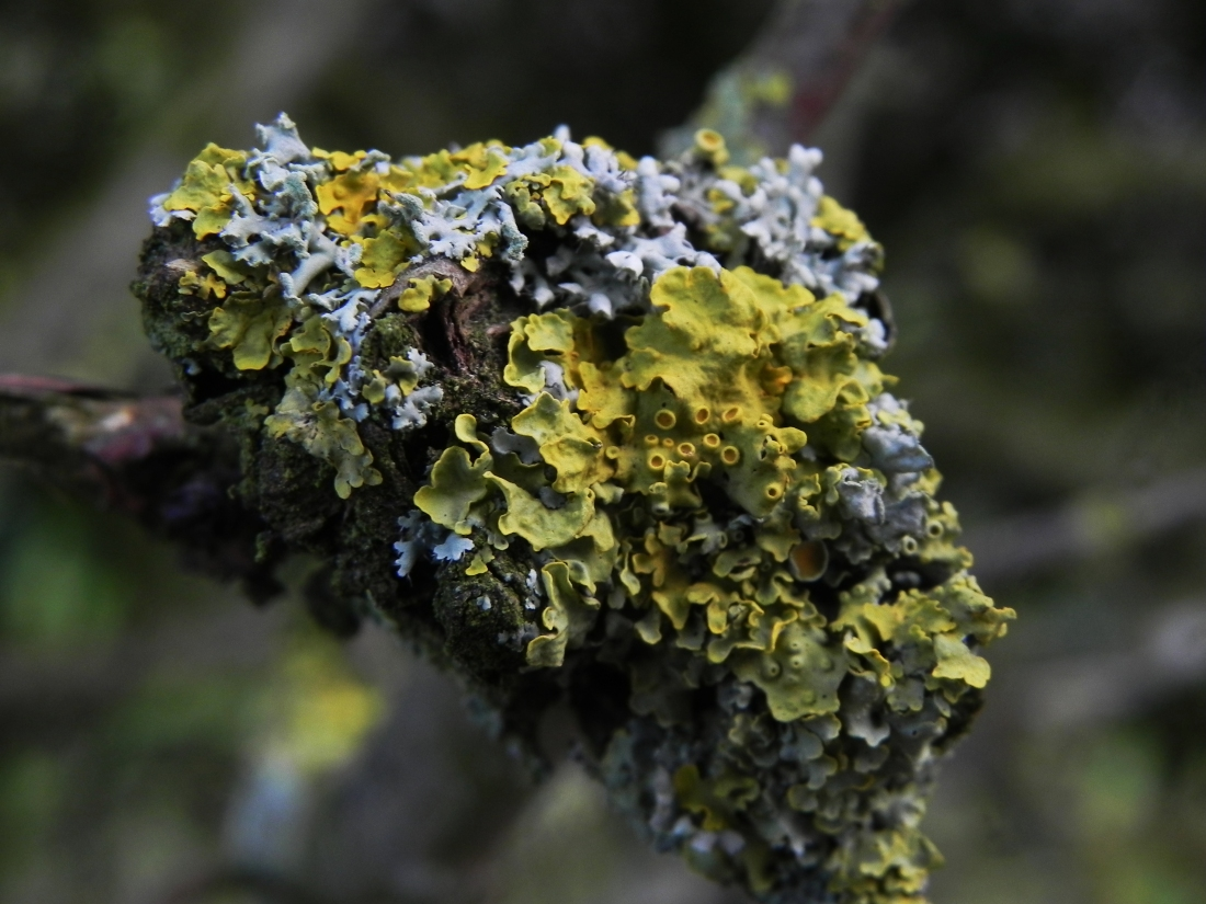 Lichen in the Hawthorn hedge