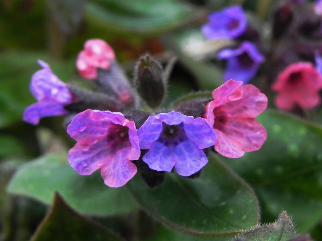 Flowers of lungwort or soldiers and sailors