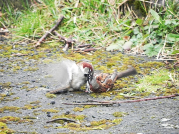 Tree Sparrows fighting