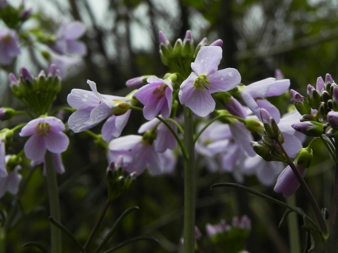 Cuckoo Flower or Lady's Smock