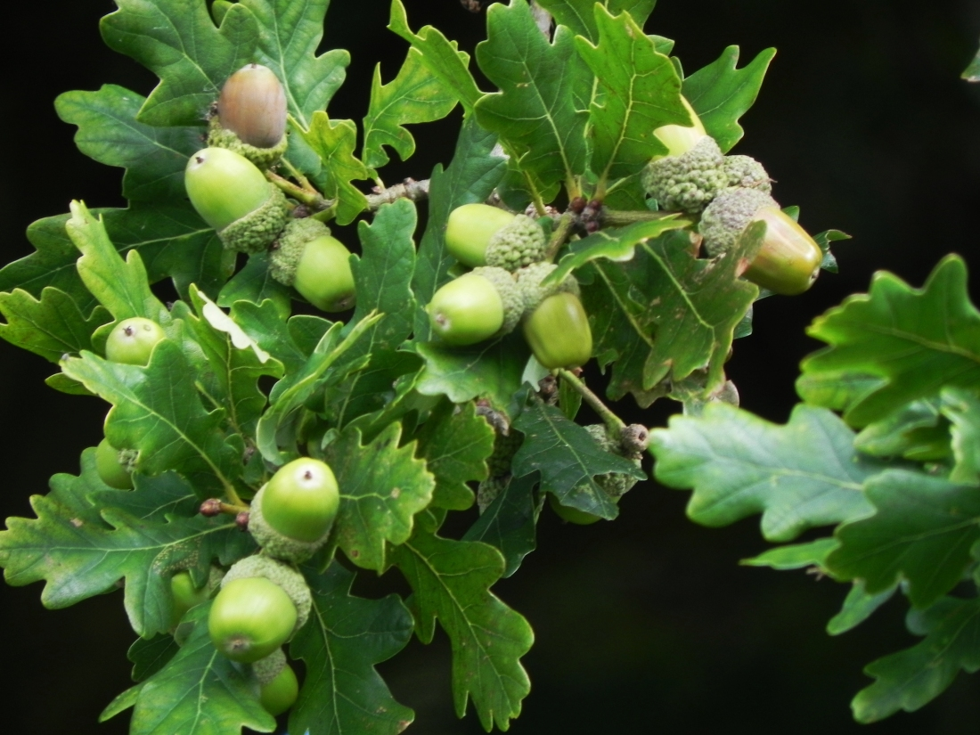 Healthy acorns this year