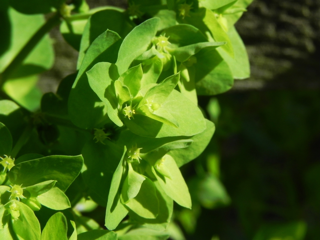 Euphorbia - Petty Spurge