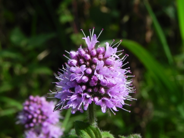 Possibly Water Mint