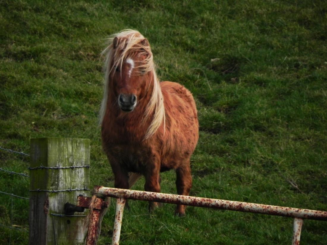 Shetland pony in field