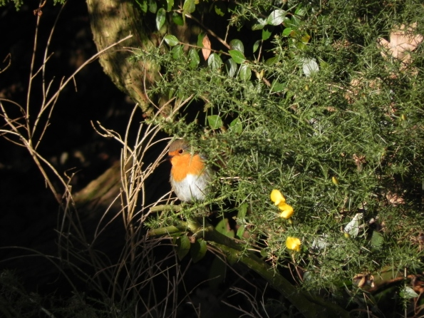 A Robin and Gorse flowers