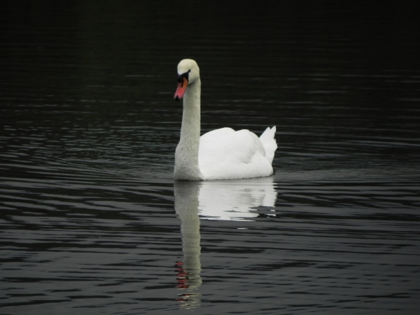 A Swan and its Reflection