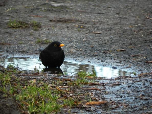 Blackbird playing in a puddle
