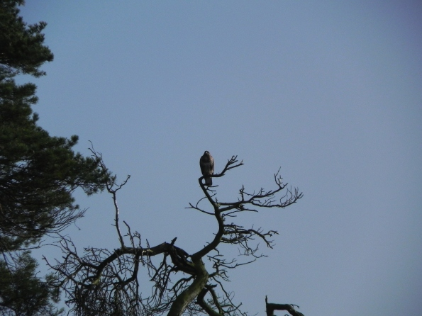 Buzzard - just sitting