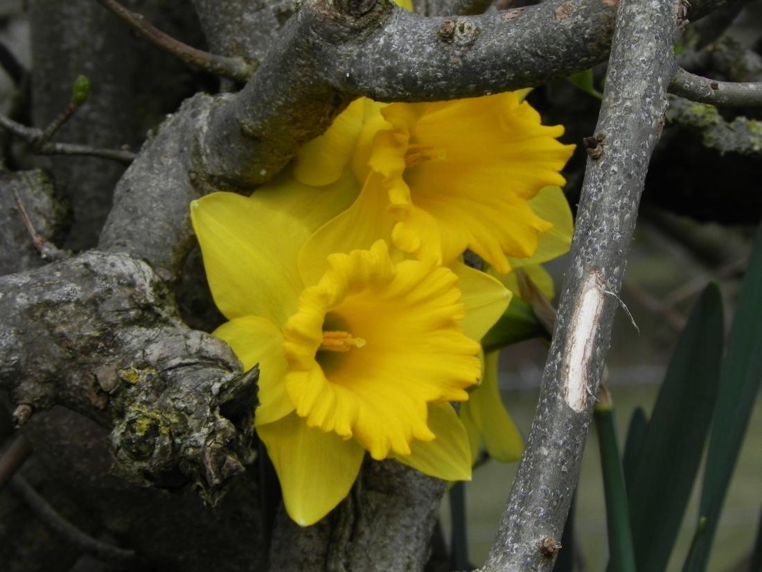 Daffodils In The Hedge