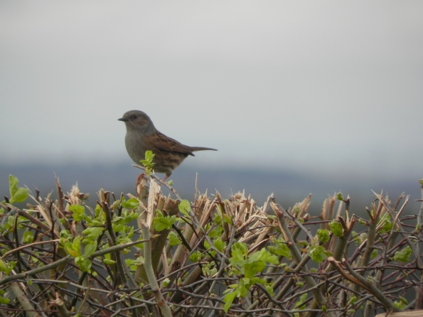 Dunnock singing in the hedge