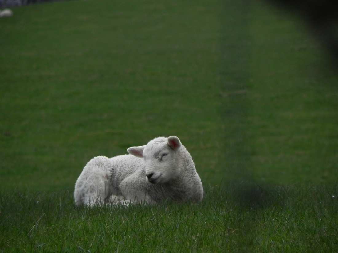 New Lambs In Our Fields