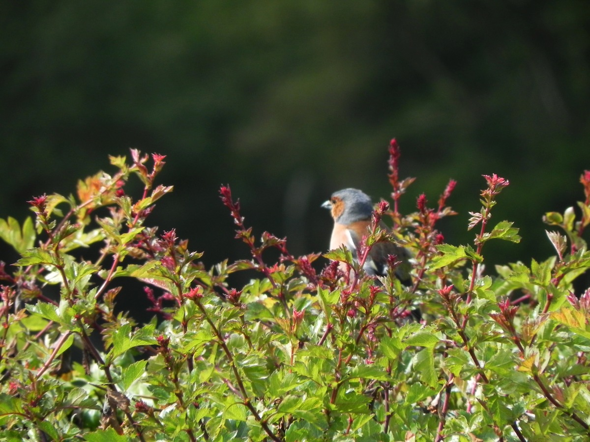 Chaffinch Sitting In The Sun