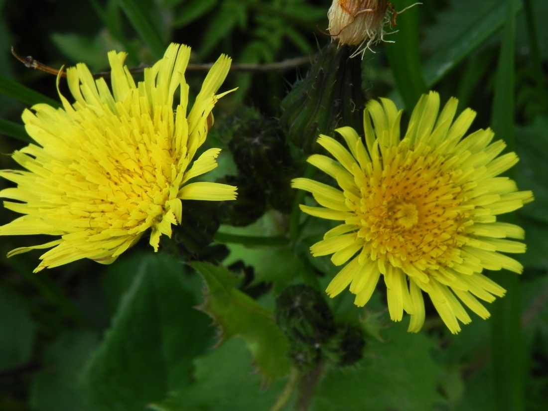 Prickly Sow Thistle