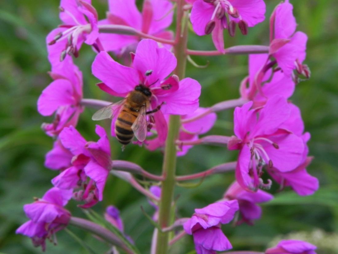 Rose Baywillow Herb