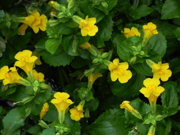 Mimulus or Monkey Flower