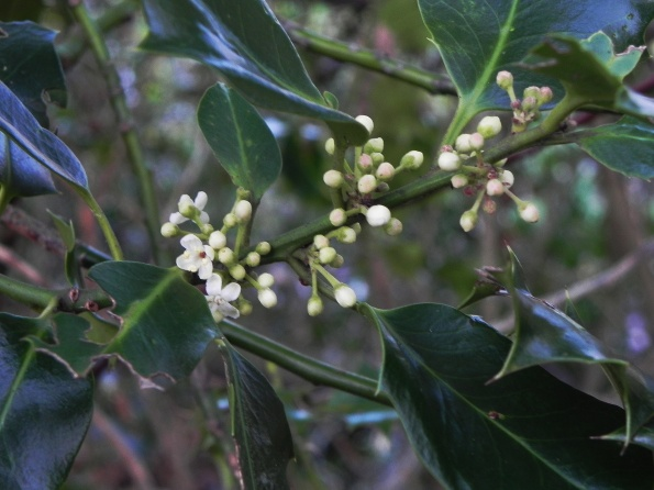 Holly Flowers in November