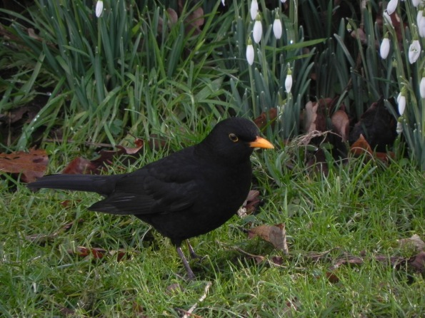 Blackbird and snowdrops
