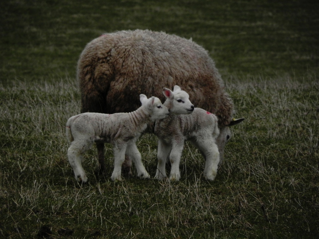 Lambs - First Day Out In The Field.