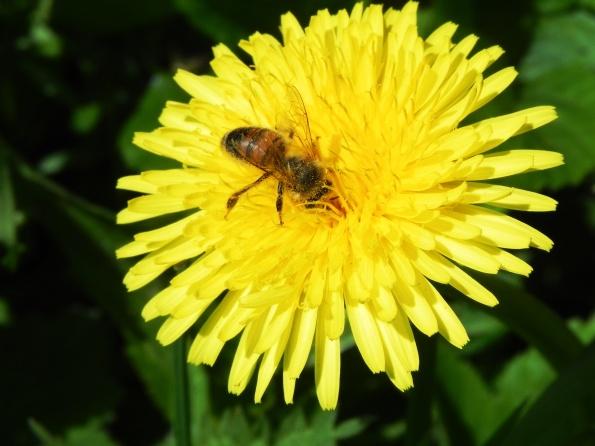 Bee And Dandelion