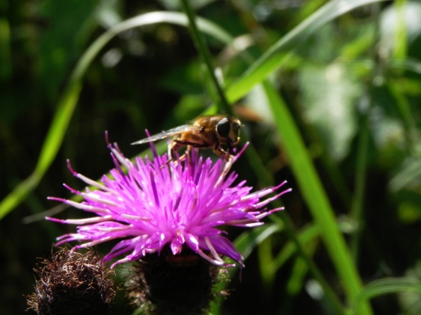 Bee On Knapwort