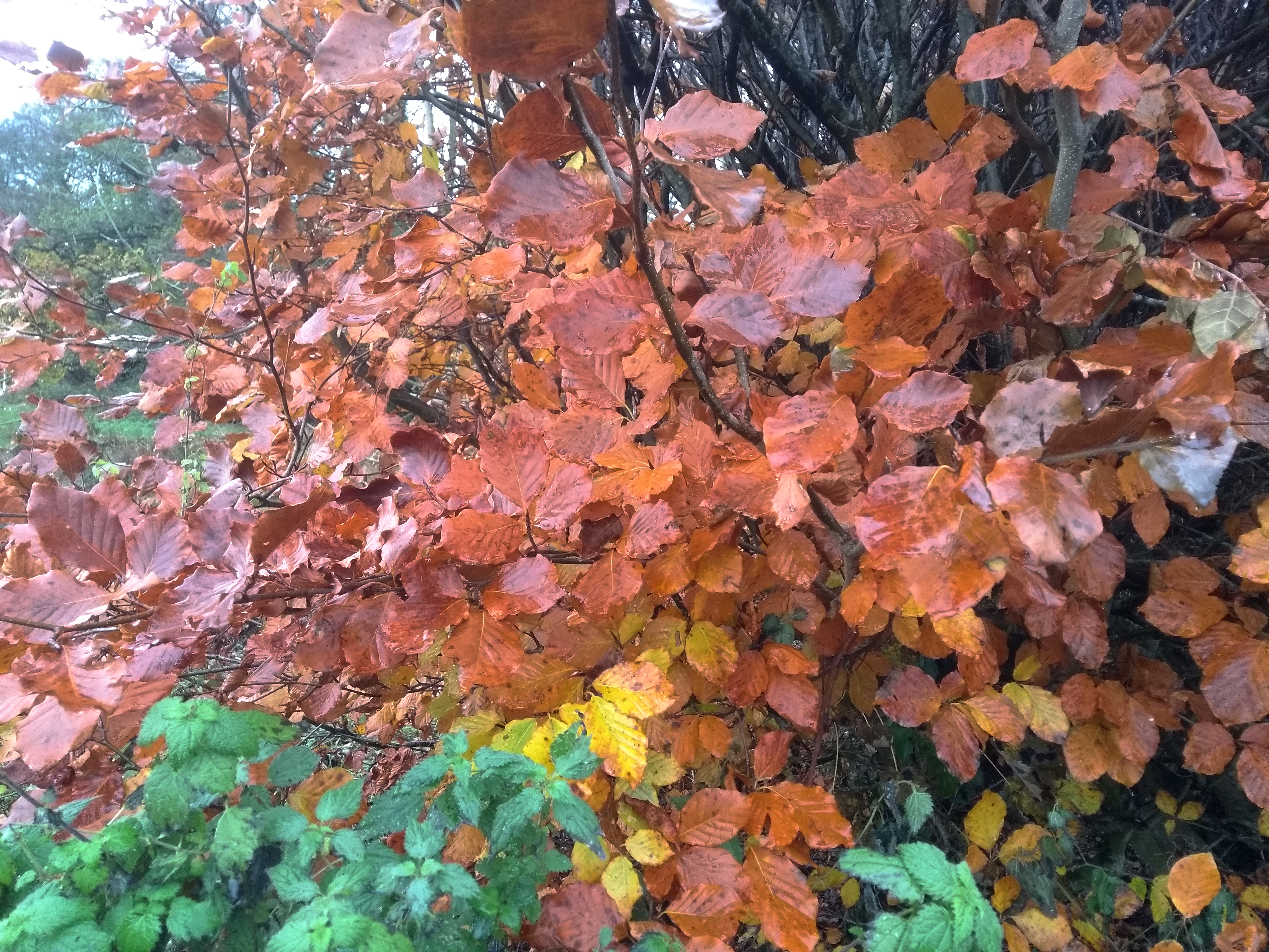 Beech Leaves - The Hole In The Hedge