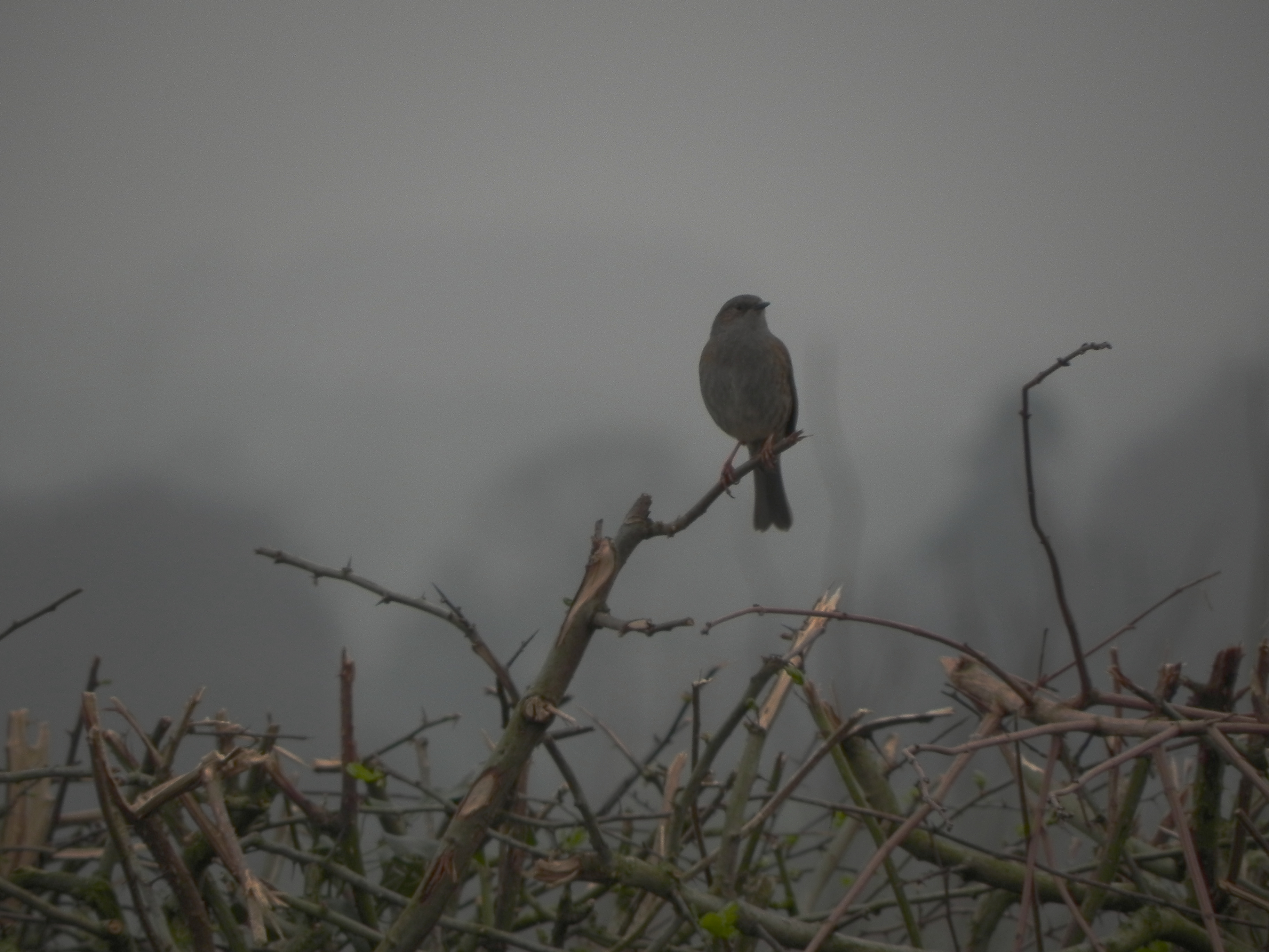 Dunnock - in the hedge