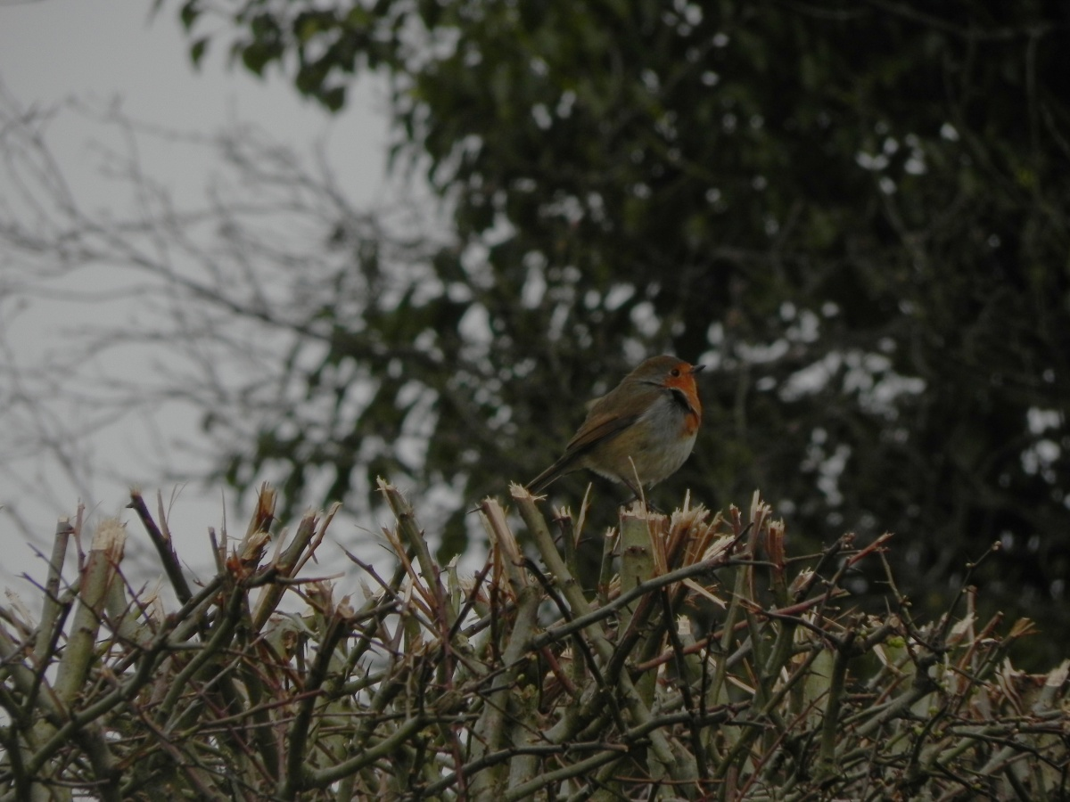 Robin On The Hedge